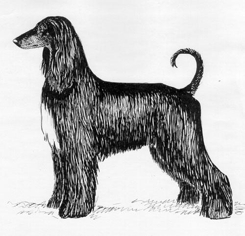 Breed Standards : Afghan Hound | United Kennel Club (UKC)