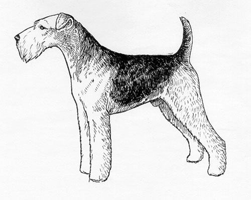 UKC Breed Standards: Airedale Terrier