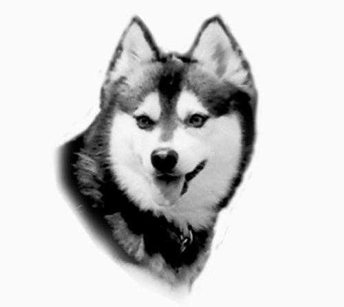 UKC Breed Standards: Alaskan Klee Kai head