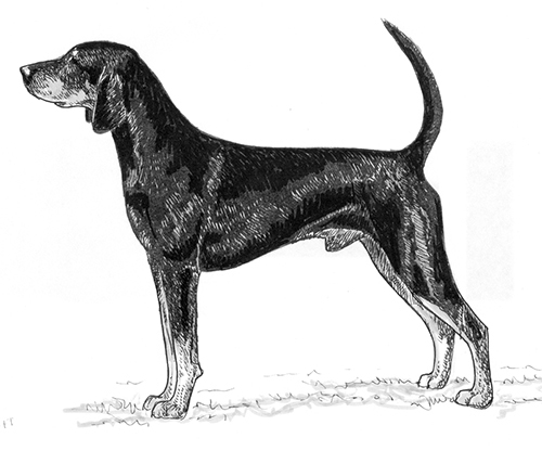 UKC Breed Standards: American Black and Tan Coonhound