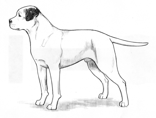 UKC Breed Standards: American Bulldog