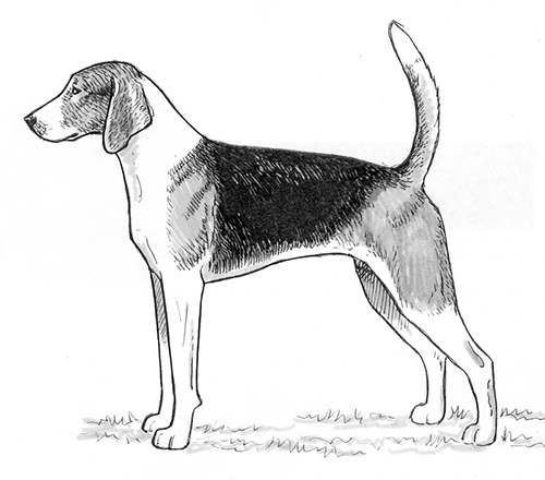 UKC Breed Standards: American Foxhound