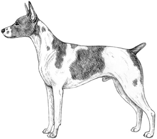 UKC Breed Standards: American Hairless Terrier