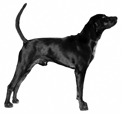 UKC Breed Standards: American Leopard Hound (color example)