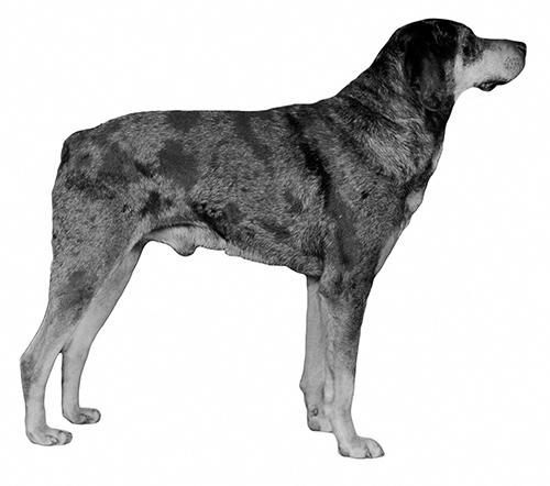UKC Breed Standards: American Leopard Hound (tail example)