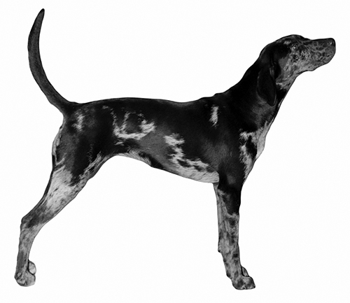 UKC Breed Standards: American Leopard Hound
