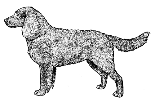 UKC Breed Standards: American Water Spaniel