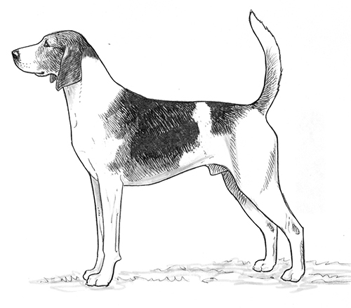 UKC Breed Standards: Anglo Francais de Petite Venerie