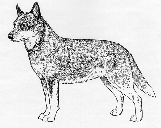 UKC Breed Standards: Australian Cattle Dog