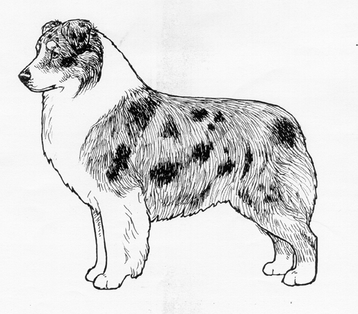 UKC Breed Standards: Australian Shepherd