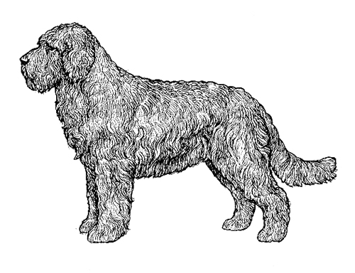 UKC Breed Standards: Barbet
