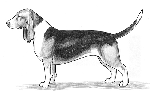 UKC Breed Standards: Basset Artesien Normand