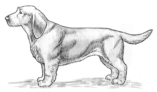 UKC Breed Standards: Basset Fauve de Bretagne