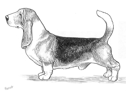 UKC Breed Standards: Basset Hound