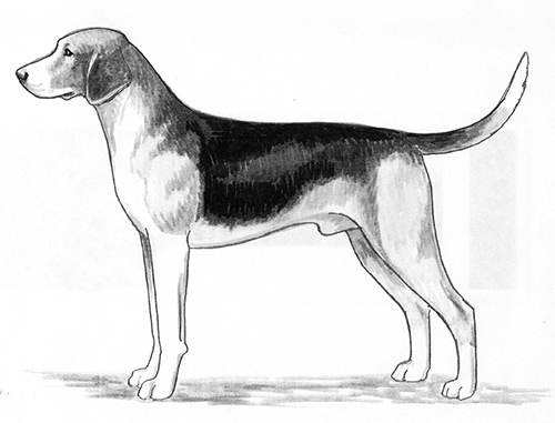 UKC Breed Standards: Beagle Harrier