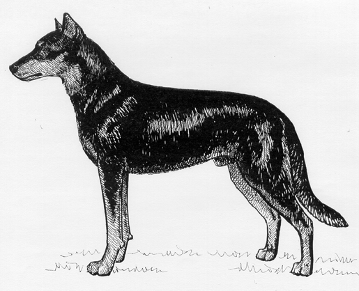 UKC Breed Standards: Beauceron