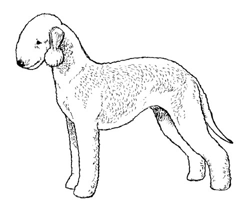 UKC Breed Standards: Bedlington Terrier