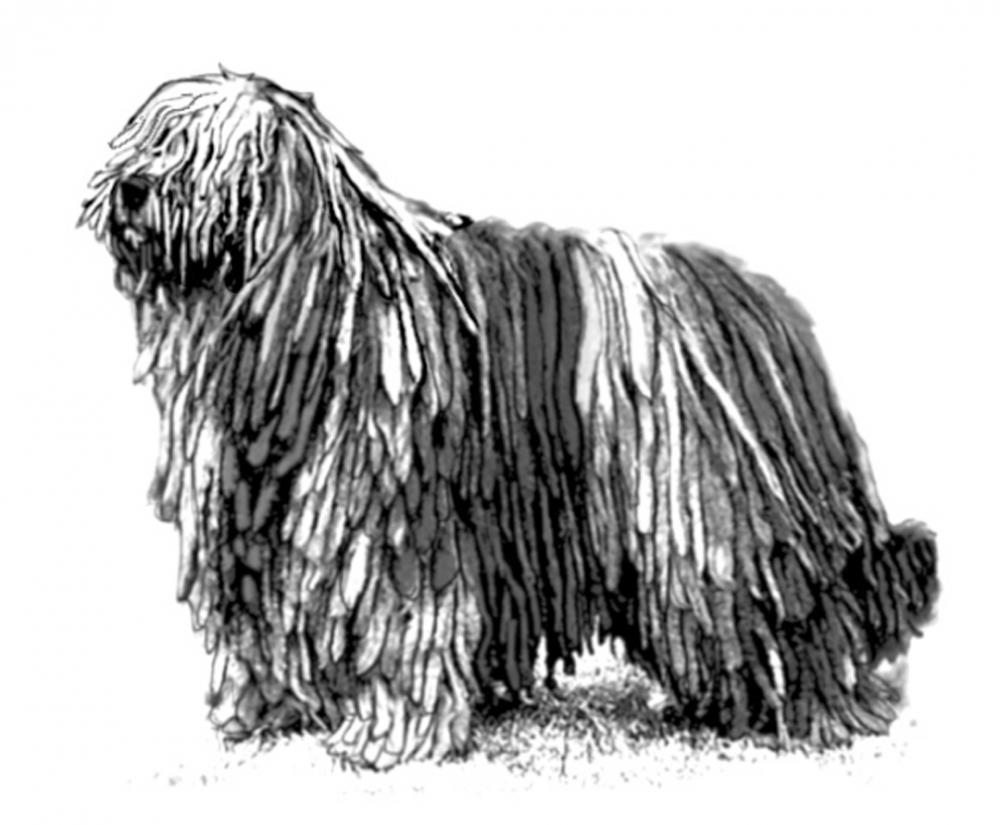 UKC Breed Standards: Bergamasco