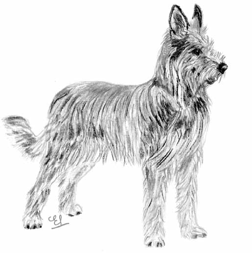 UKC Breed Standards: Berger Picard