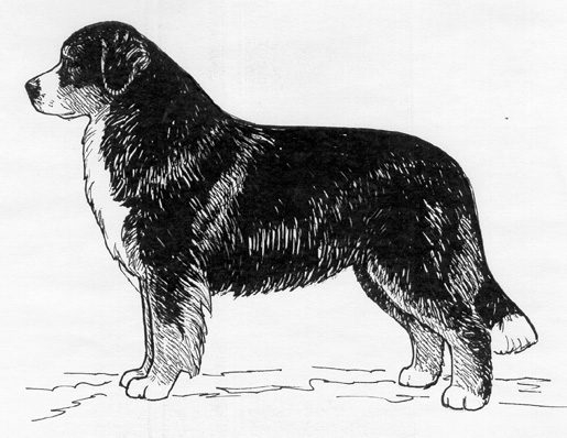 UKC Breed Standards: Bernese Mountain Dog
