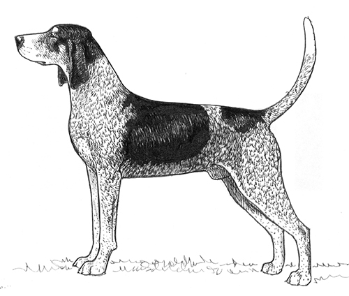 UKC Breed Standards: Bluetick Coonhound