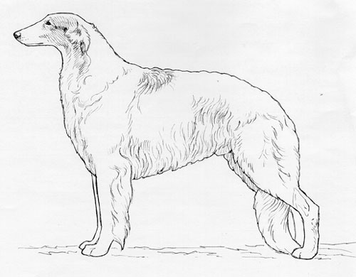 UKC Breed Standards: Borzoi
