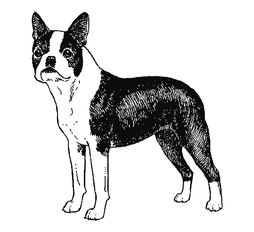 UKC Breed Standards: Boston Terrier