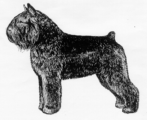 UKC Breed Standards: Bouvier des Flandres