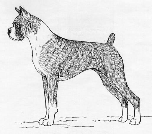 UKC Breed Standards: Boxer