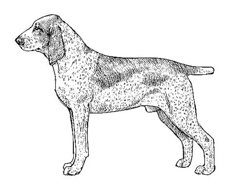 UKC Breed Standards: Bracco Italiano