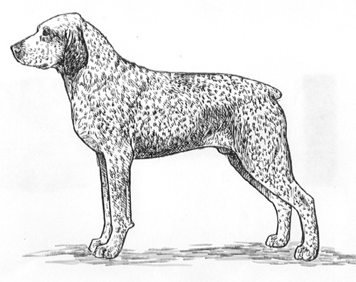 UKC Breed Standards: Braque de Bourbonnais