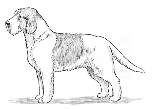 UKC Breed Standards: Briquet Griffon Vendeen