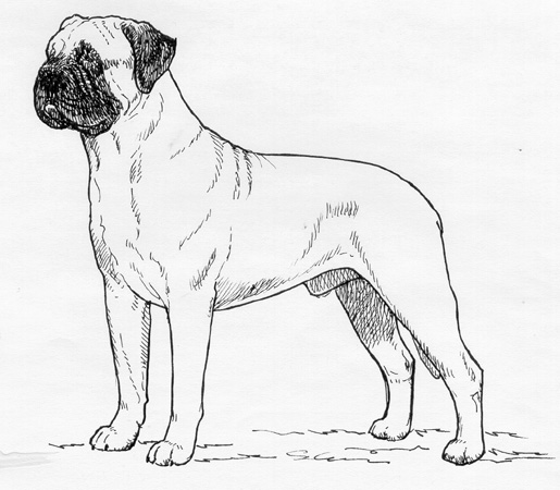 UKC Breed Standards: Bullmastiff