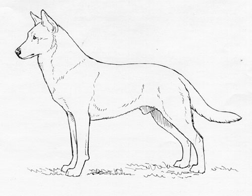 UKC Breed Standards: Carolina Dog