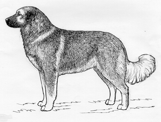 UKC Breed Standards: Caucasian Ovcharka