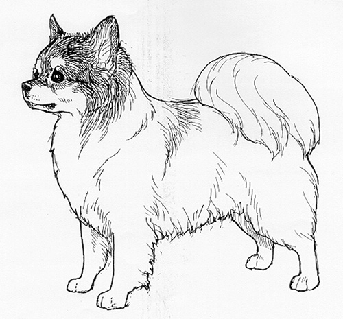 UKC Breed Standards: Chihuahua Long Coated