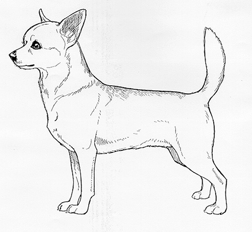 UKC Breed Standards: Chihuahua Short Coated