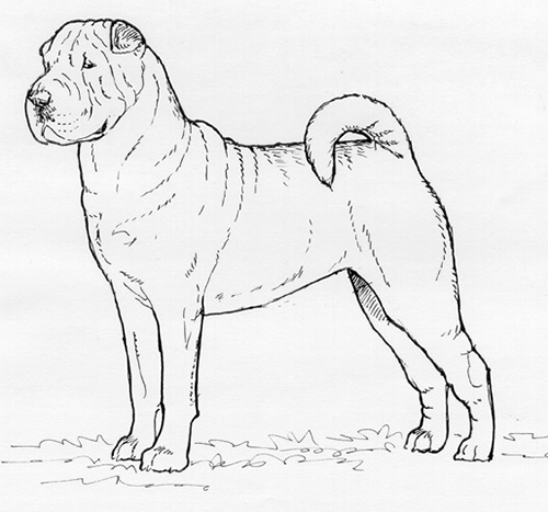 UKC Breed Standards: Chinese Shar Pei