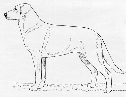 UKC Breed Standards: Chinook