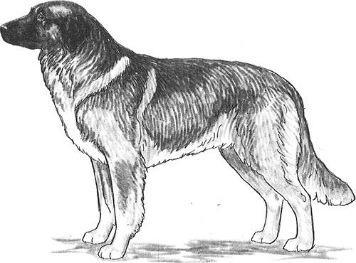 UKC Breed Standards: Romanian Carpathian Shepherd Dog