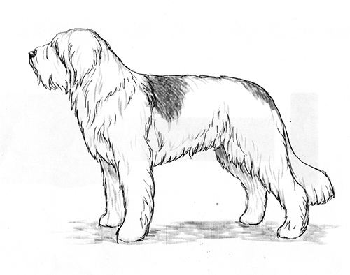 UKC Breed Standards: Romanian Mioritic Shepherd Dog