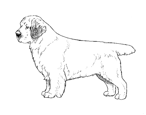 UKC Breed Standards: Clumber Spaniel