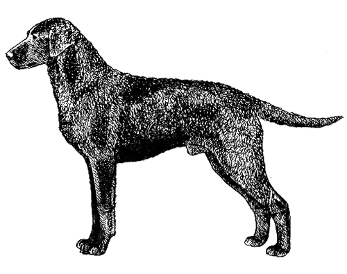 UKC Breed Standards: Curly-Haired Retriever