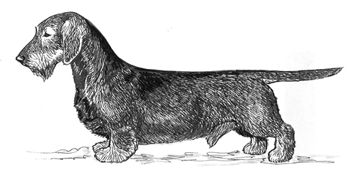 UKC Breed Standards: Dachshund (Wire-Haired)
