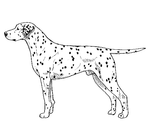 UKC Breed Standards: Dalmatian