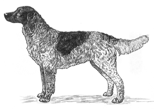 UKC Breed Standards: Deutscher Wachtelhund
