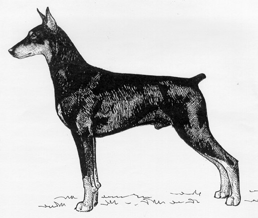 UKC Breed Standards: Doberman Pinscher
