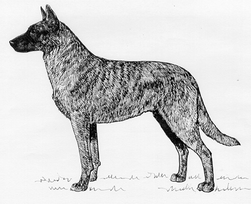 UKC Breed Standard: Dutch Shepherd