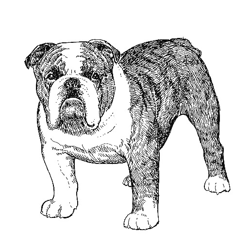 UKC Breed Standards: English Bulldog