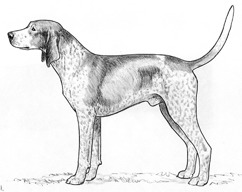 Breed Standards : English Coonhound | United Kennel Club (UKC)